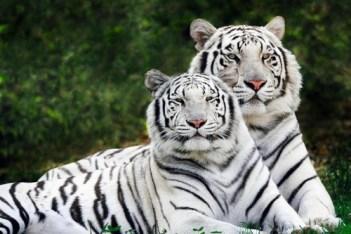 2. Biele bengálske tigre Exotické domáce zvieratá