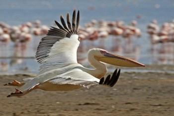 2. Veľký biely pelikán