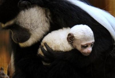 3. Baby Monkey v náručí jej matky