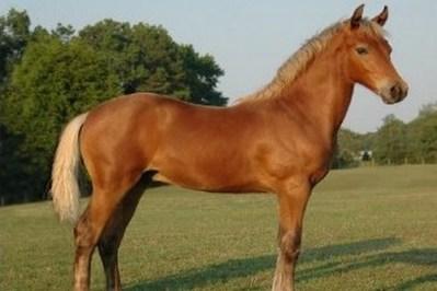3. Morgan 10 najkrajších plemien koní z celého sveta najkrajši kôň na svete