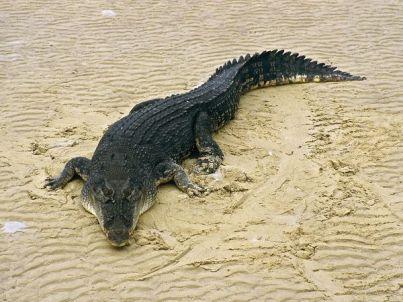 4. Krokodíl