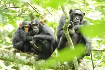 5. Šimpanzy Najdrahšie domáce zvieratá