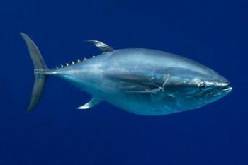 7. Tichomorský tuniak modroplutvý Najdrahšie domáce zvieratá