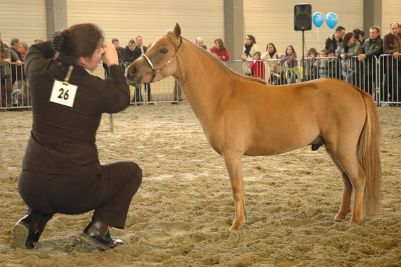 Najmenší kôň miniatúrny kôň