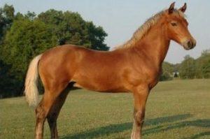 3. Morgan 10 najkrajších koní z celého sveta . Najkrajšie kone z celého sveta . Najkrajšie plemena koní s ktorými sa môžete stretnúť . 10 najkrajších koní