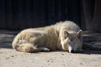 1.Canis lupus occidentalis najväčších vlkov na svete najväčši vlk