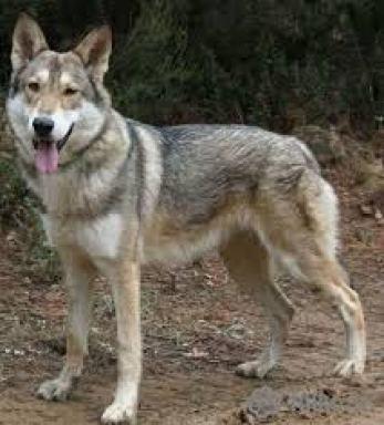 2.Saarloosov vlčiak plemeno psa ako vlk