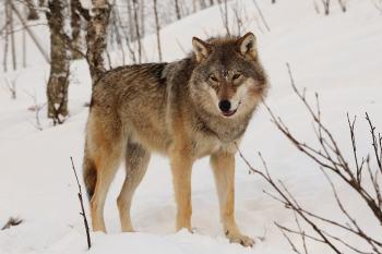 2.Vlk eurázijský