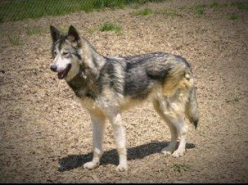 3. Wolfshund