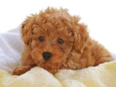 3.Toy pudel (Toy Poodle) Najdlhšie žijúce psy  Top 10 plemien psov