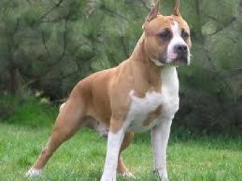 4.Americký stafordšírsky teriér Svalnaté psy