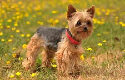 5.Jorkšírsky teriér Najdlhšie žijúce psy  Top 10 plemien psov