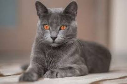 5.Korat Najvzácnejšie mačky