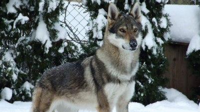 Kugsha pes plemeno psa ako vlk