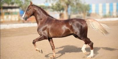 5.Marwari Najlepšie kone 10 najlepších plemien koní na svete . Najlepšie plemená koní na svete . Najlepšie kone zoznam plemien . Najlepšie plemena koní