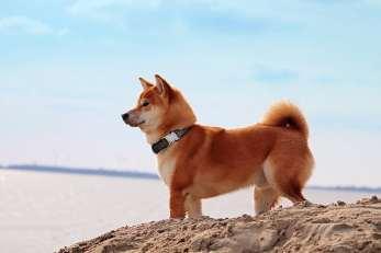 6.Šiba inu Plemena psov z Ázie