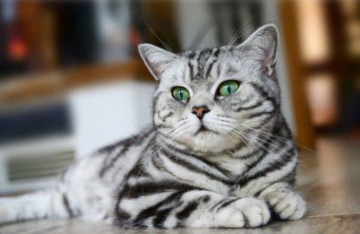 6. Britská mačka (British Shorthair) Najvzácnejšie mačky