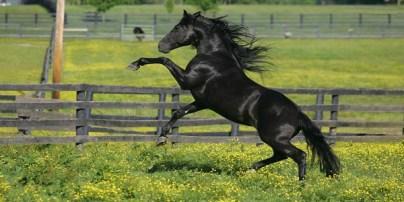 8organ Morgan horse)