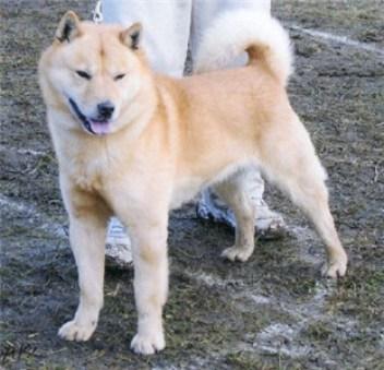 japonske plemena psov