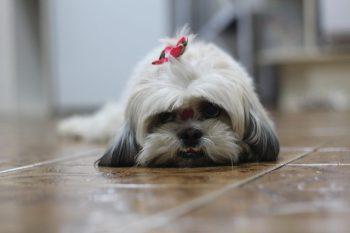 sicu Plemena psov z Ázie
