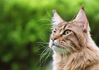 Mainská mývalia mačka Mačky ktoré sa správajú ako psy 9 plemien mačiek