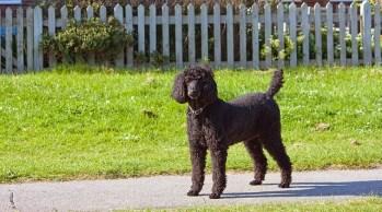 11.Standard Poodle Najrýchlejšie psy  najrýchlejší pes