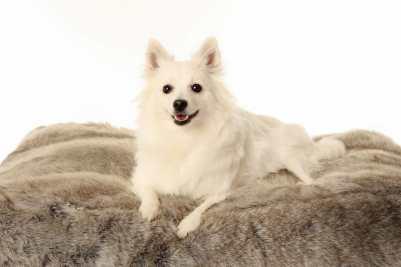 12.Volpino Talianske plemená psa . Pozrite si plemená psov z Talianka . Všetko o psoch z Talianska .Talianske plemená psa ktoré musíte vidieť . Psy