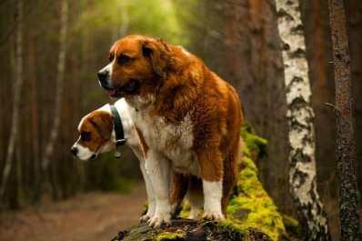 4.Svätobernardský pes