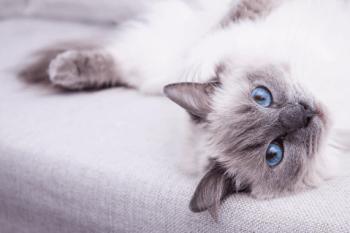 Ragdoll Zdravotné problémy mačky