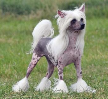 5.Čínsky chocholatý pes
