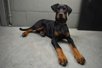 5.Doberman Pinscher – Najrýchlejšie psy  najrýchlejší pes