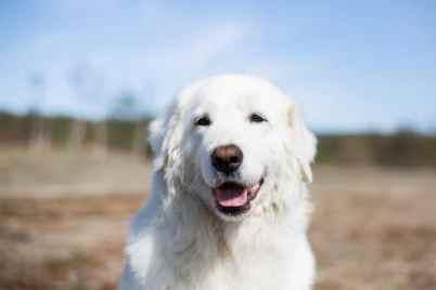 9.Maremansko-abruzský pastiersky pes Talianske plemená psa . Pozrite si plemená psov z Talianka . Všetko o psoch z Talianska .Talianske plemená psa ktoré musíte vidieť . Psy