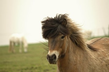 Islandský kôň