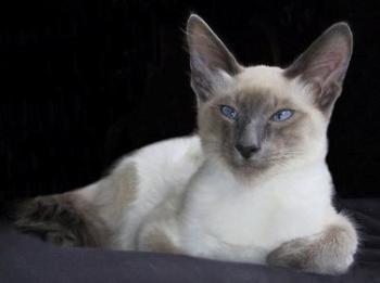 Javská kočka Hypoalergénne mačky  Plemena mačiek