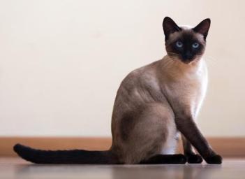 Siamská kočka Hypoalergénne mačky  Plemena mačiek