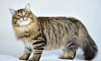 Sibirská kočka
