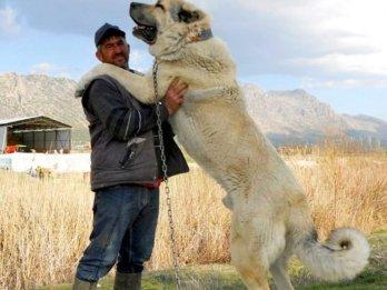 2. Kangal najsilnejších plemien psov na svete najsilnejšie plemena psov najsilnejšie psy