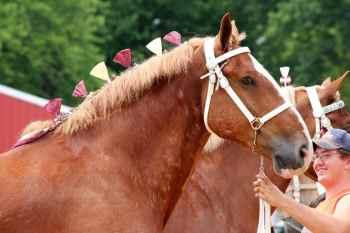 4.Belgický kôň najväčších plemien koní na svete najväčší