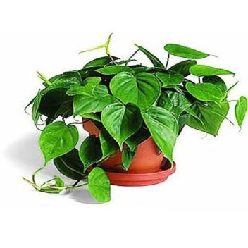 5.Filodendron