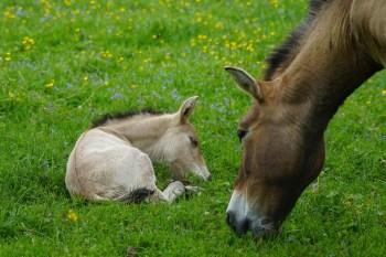 4. Kôň Przewalského takmer zmizol a vyhynul