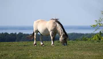 1. Fjordský kôň