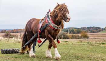 Peršeron (Percheron) najťažších plemien koní na svete