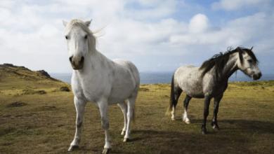 Väčšina bielych koní je v skutočnosti sivá