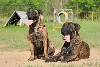 Búrský buldok (Boerboel) plemien bojových psov