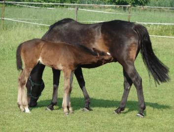 Malému koňovi sa hovorí žriebä faktoch o koňoch
