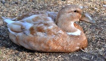 3. Orpingtonská kačka