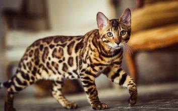 Bengálska mačka
