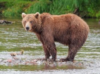 Medveď kamčatský