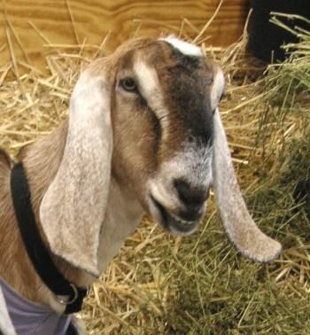 3.Anglonubijská koza