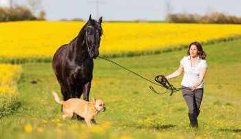 Fríský kôň